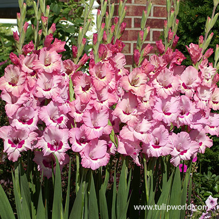 That's Love Gladiolus - 26148