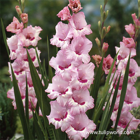 Thats Love Gladiolus where to buy gladiolus bulbs, gladiolus bulbs suppliers, large gladiolus bulbs, pink and white gladiolus bulbs, giant gladiolus,