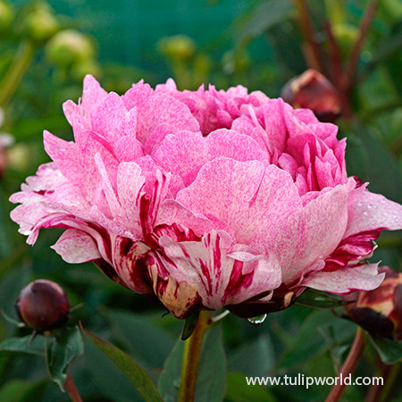 The Fawn Peony - 36107