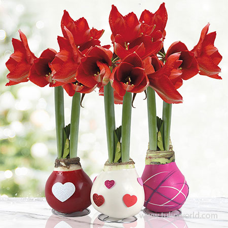 The Sweetheart Waxed Amaryllis Collection (3-Pack) The Sweetheart Waxed Amaryllis Collection, Amaryllis Bulbs 3-Pack, Hand-Dipped in Wax, Unique Gifts, Easy To Grow