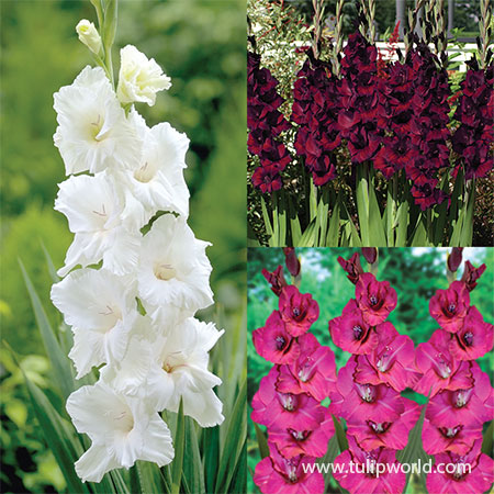 Violaceaous Gladiolus Collection - 26146