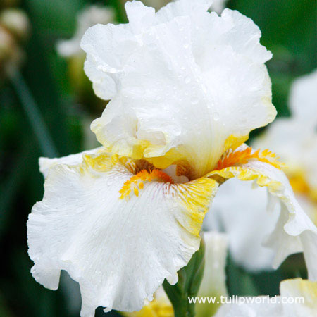 Warm Bearded Iris Collection - 35154