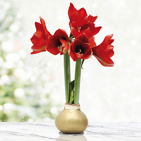 Wish Waxed Amaryllis Gold Waxed Amaryllis, Hand-Dipped in Wax, Specially Blended Wax, Unique Flower Gift, Holiday Decor