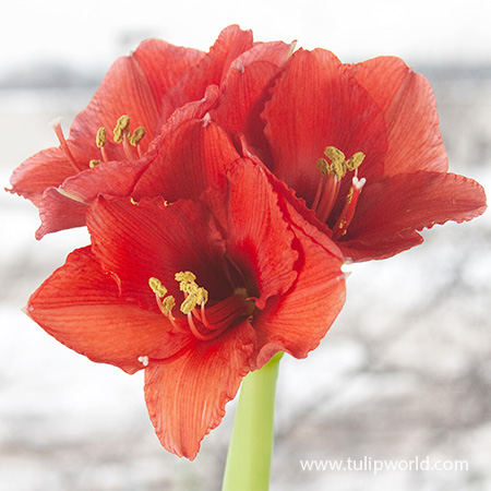 Green Picasso Base Waxed Amaryllis - 42130