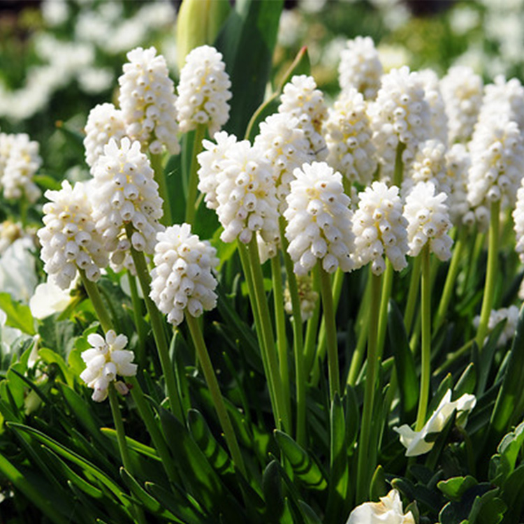 White Grape Hyacinth -Album Muscari - 33114