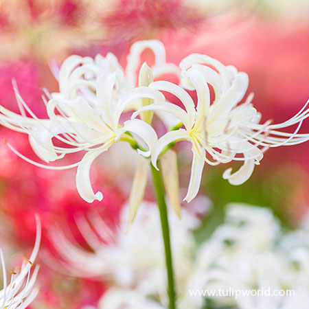 White Lycoris- Lycoris Albiflora - 37136