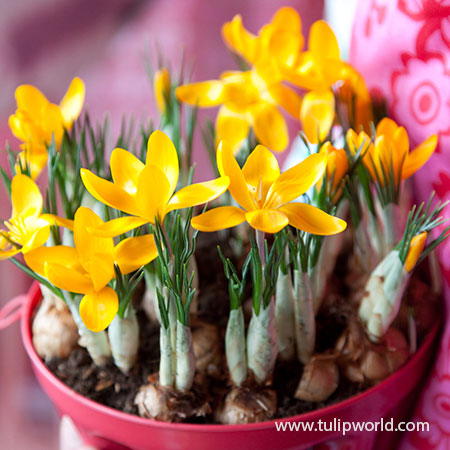Yellow Mammoth Crocus Pre-Chilled pre-chilled bulbs, where can i buy pre chilled bulbs, pre chilled bulbs for sale, buy pre chilled bulbs, pre chilled flower bulbs, planting pre chilled bulbs