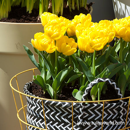 Yellow Pomponette Tulip Pre-Chilled pre-chilled bulbs, pre chilled bulbs, pre chilled tulip bulbs, where can I buy pre chilled bulbs, per chilled bulbs for sale