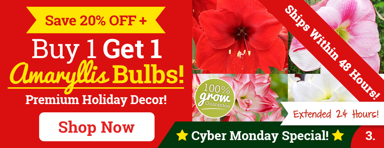 Buy One Get One Amaryllis