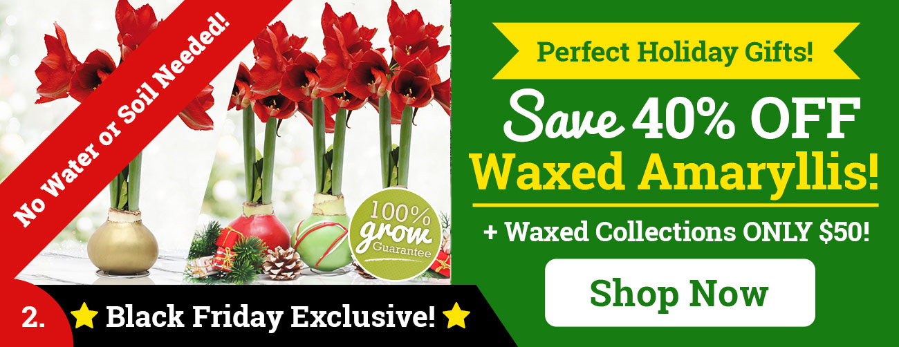 Save Up To 40% OFF Waxed Amaryllis!