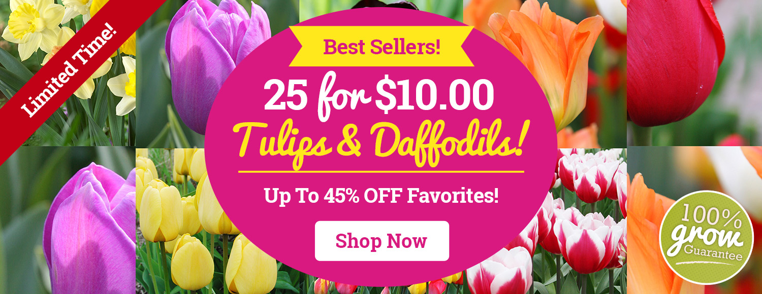 25 Tulips and Daffodils For Only $10!
