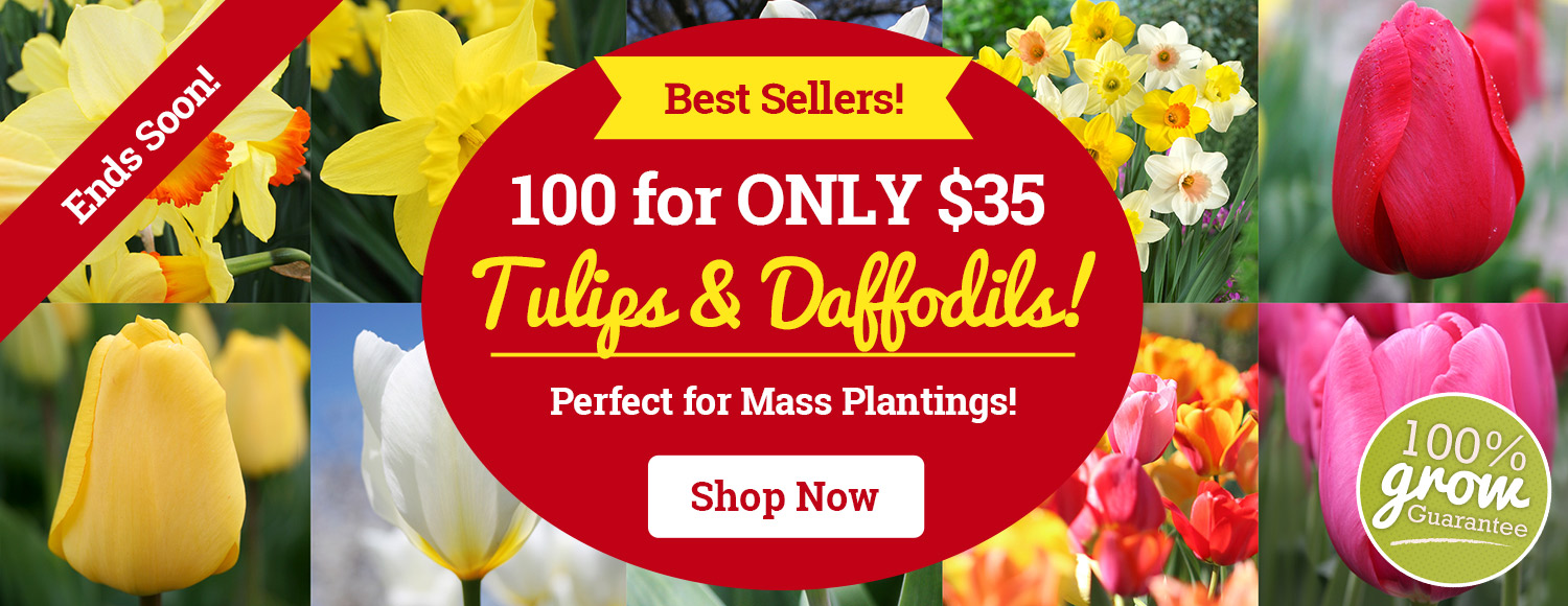 LIMITED TIME: 100 Bulbs For Only $35!