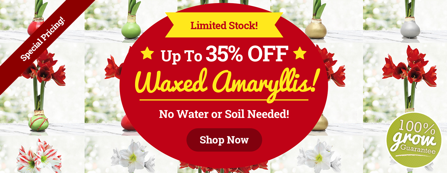 Up To 35% OFF Waxed Amaryllis!